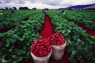 Kebun Strawberry Ciwidey - Outbound Lembang Bandung