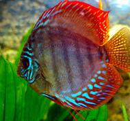 10 Ikan Hias Air Tawar Terindah discus