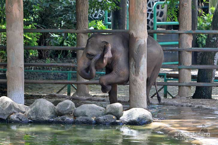 anak gajah kebun binatang ragunan jakarta