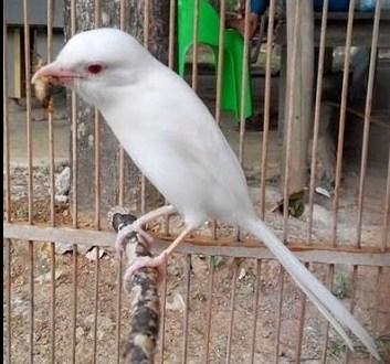 burung cendet putih