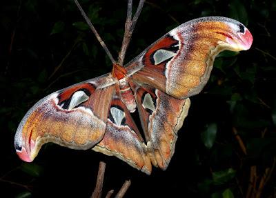 Attacus lemairei female