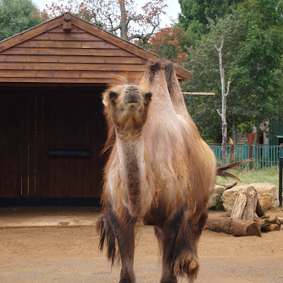 A camel at Paradise Wildlife Park