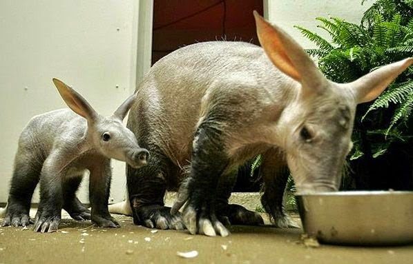 A young and an adult Aardvark