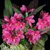 """Dendrobium laevifolium """"Sam' s Choice"""""""