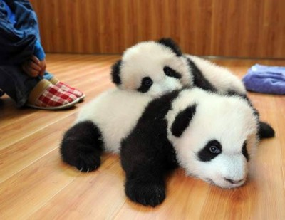 Is the best job in the world? A baby sitter pandas
