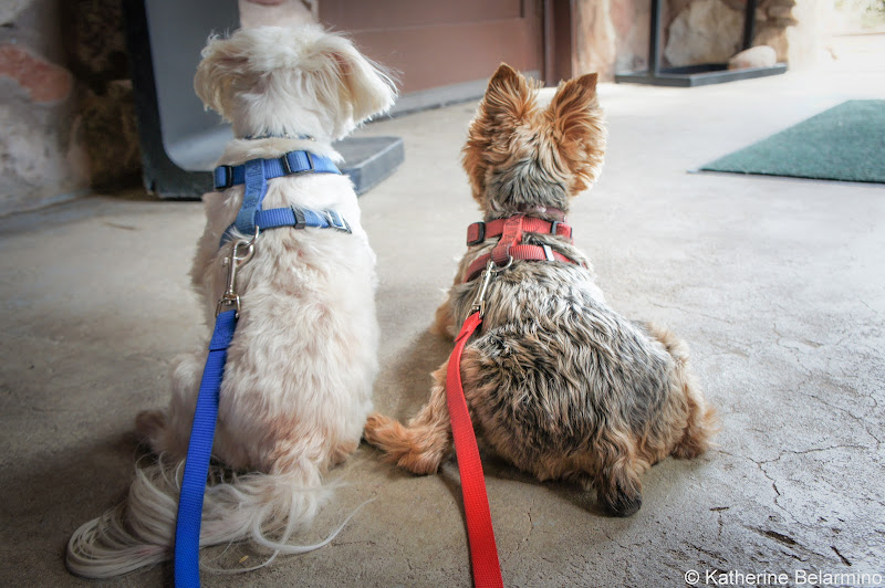 Henry and Charlie Pet-Friendly Vacations Tips for Traveling with Dogs