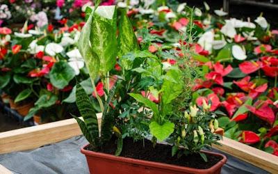 Plantas contra mau-olhado e pernilongos