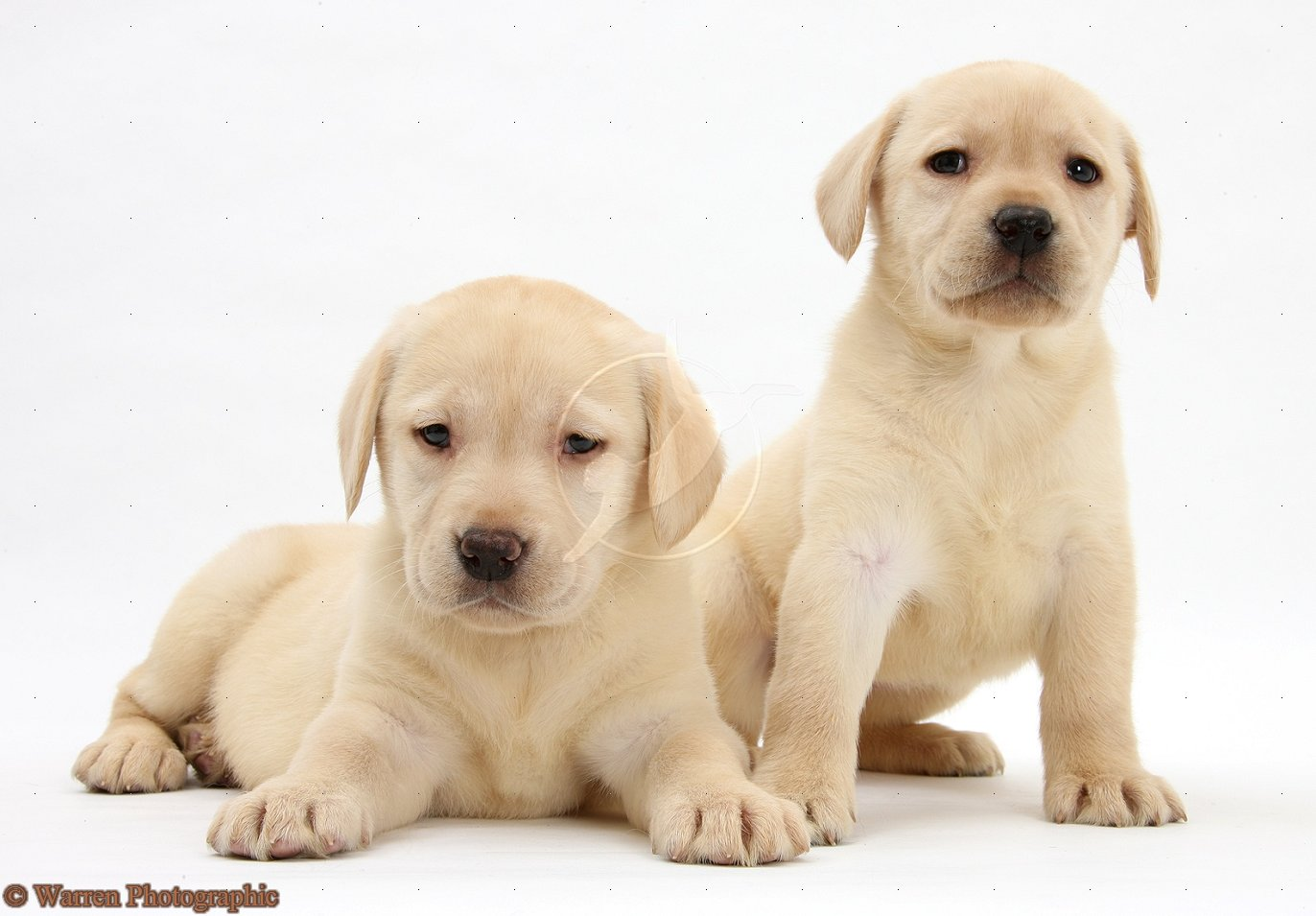 yellow lab dog - photo #9