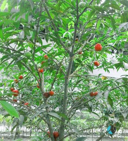 khasiat tanaman mahkota dewa
