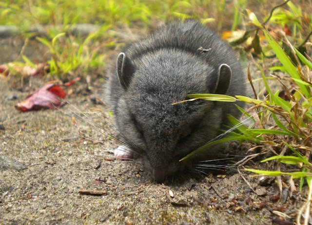 The Malibu Post The Dusky Footed Woodrat At Work