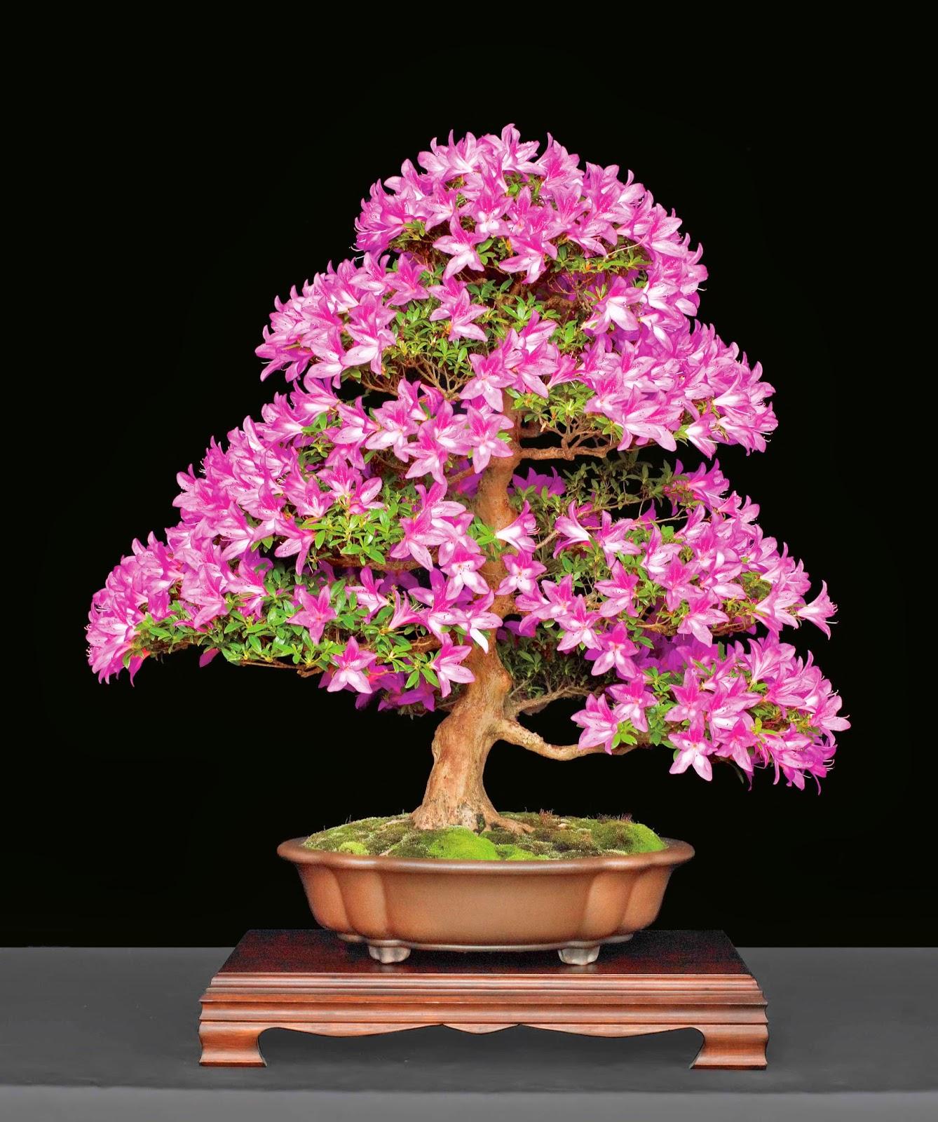 Bonsai Tree 20 Amazing Miniature Azalea Bonsai Images
