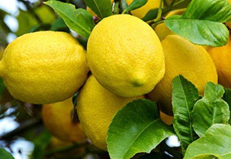 Αυξάνεται η καλλιέργεια του λεμονιού σε Αργολίδα, Λακωνία και Κορινθία