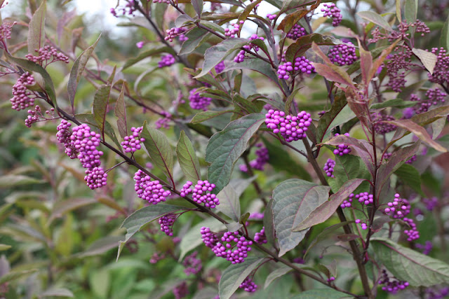 Purple Pearls beautyberry from Proven Winners ColorChoice