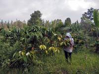 Argo Wisata PD Perkebunan Panglungan Wonosalam Jombang
