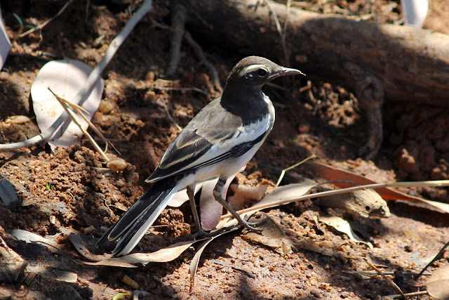 White-browed Wagtail juvenile