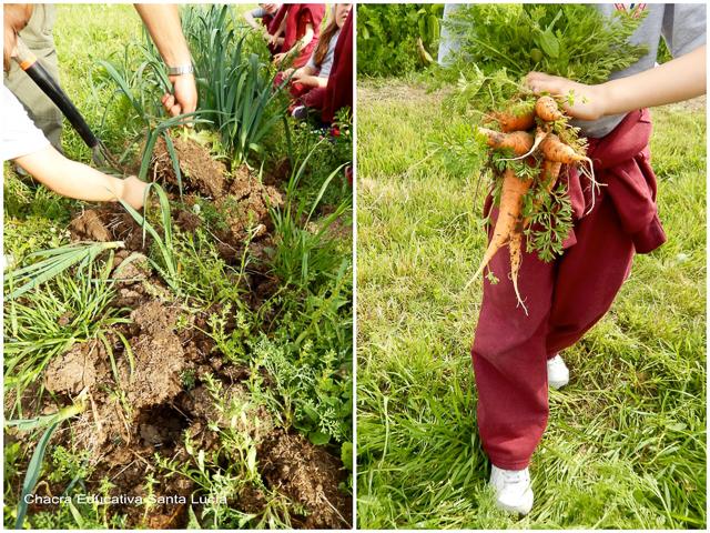 Cosechando puerros y zanahorias - Chacra Educativa Santa Lucía