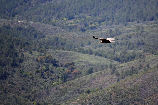 Un buitre en Monfragüe