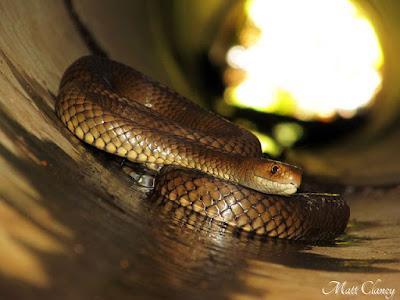 snake-australia