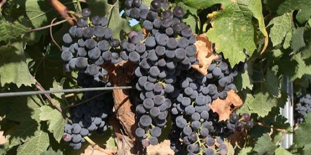 Australian Merlot Grapes