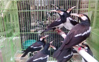 Ternak-Burung-Jalak