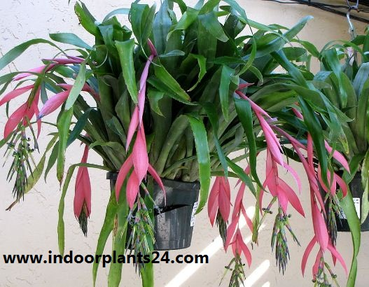 Bromeliaceae Queen's tears indoor house plant