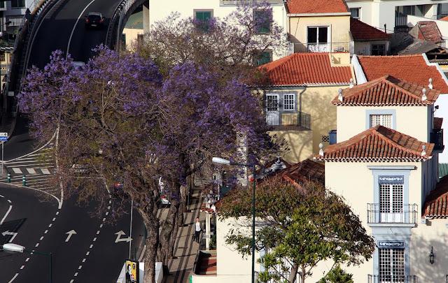 the jacaranda trees start to blossom