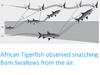 http://sciencythoughts.blogspot.co.uk/2014/06/african-tigerfish-observed-snatching.html