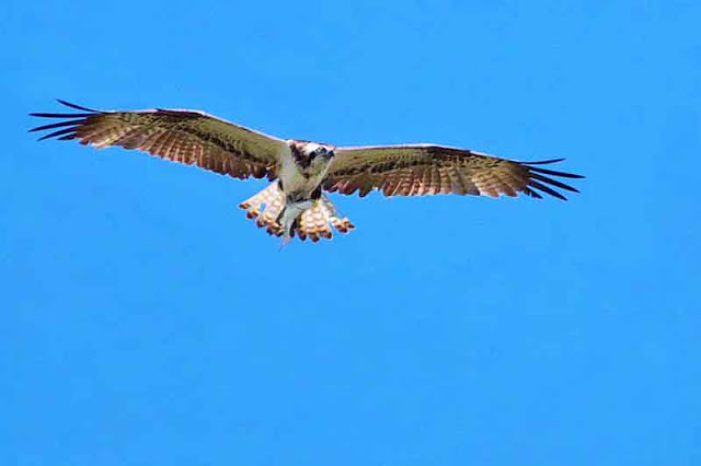 Bird, fish, Osprey, Okinawa