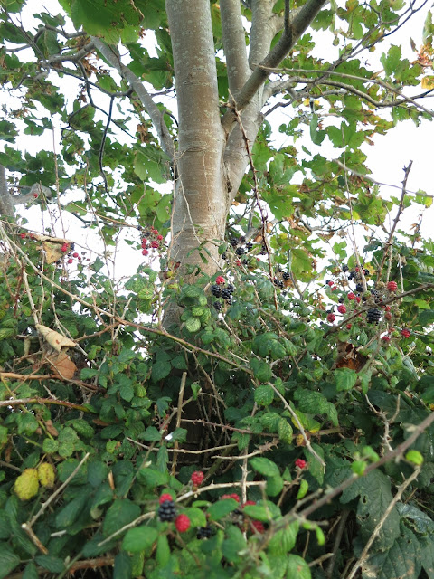 Sycamore trunk and brambles.