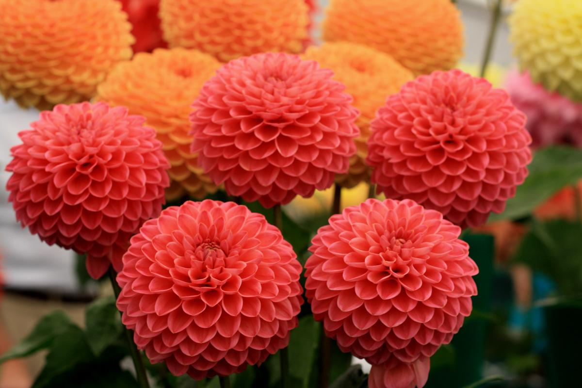 Dahlia Flower ! Garden Bible