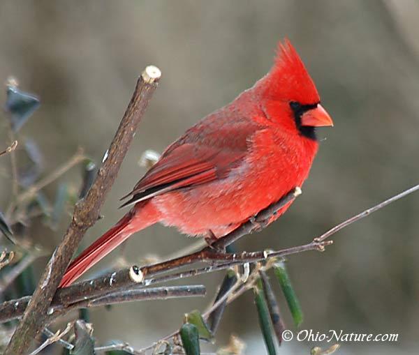 cardinal-lg.jpg