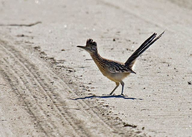Greater Roadrunner crossing the road