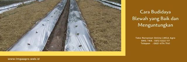 blewah,budidaya tanaman,buah,garbis,pertanian,lmga agro