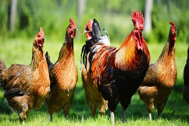kenapa ayam tidak pernah habis?