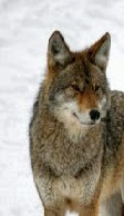 All Things Canid with Dr. Venable-Ball: Coyote Wolf Hybrid ...