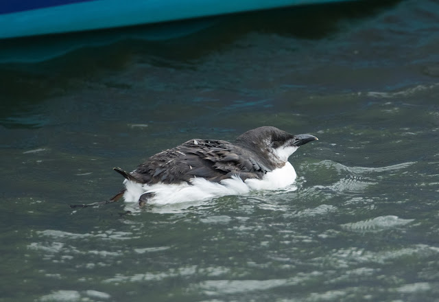 Brünnich's Guillemot - Anstruther, Fife