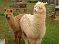 Alpaca Animal Pictures