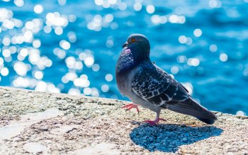 Wallpaper: Bird Pigeon or Dove