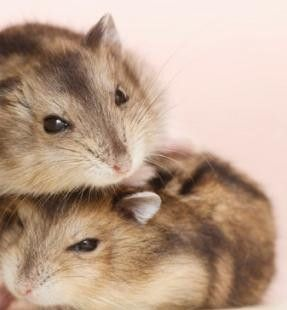 Hamster fight ~ Hamster Care and Advice