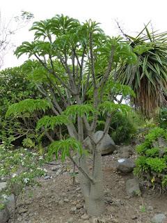 Palmier de Madagascar - Pachypodium lamerei