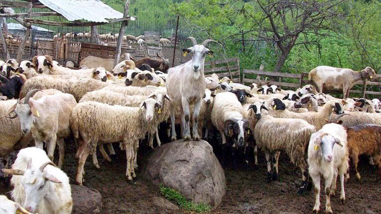 Καμία ανησυχία για τα µεµονωµένα κρούσματα βρουκέλλωσης σε αιγοπρόβατα στον Έβρο