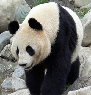 panda-creative-commons