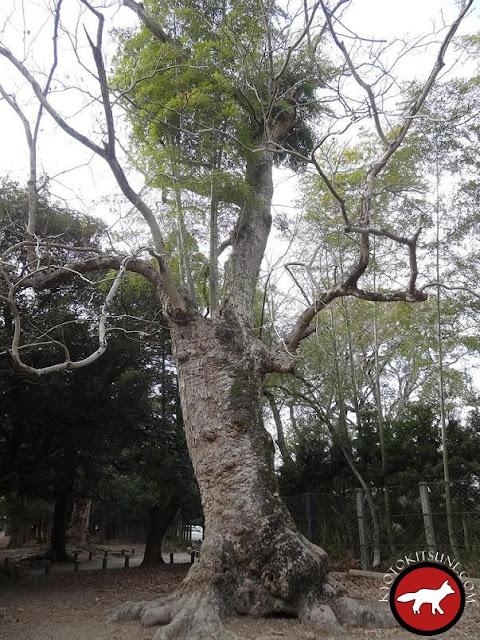 arbre à Nara avec des bambous qui poussent au dessus