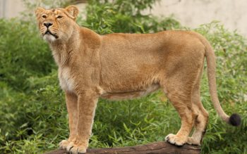 Wallpaper: Gorgeous lioness
