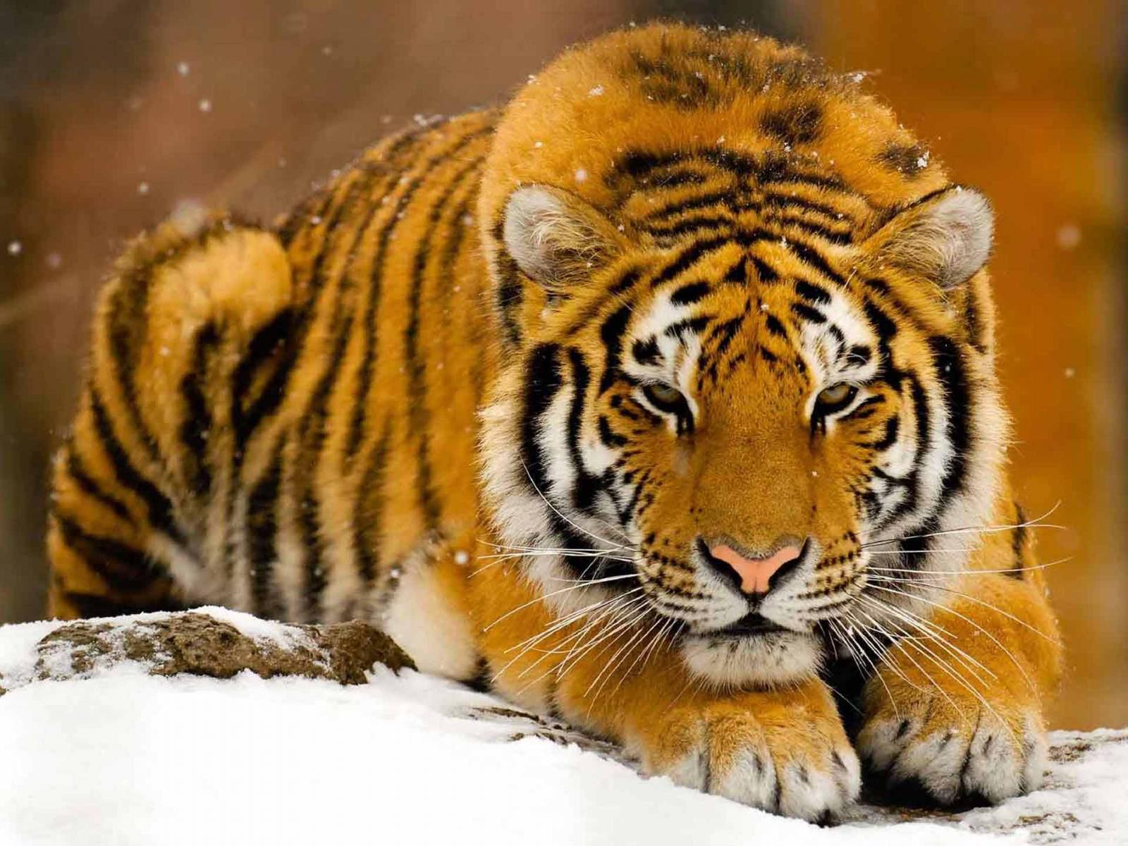 Best Desktop HD Wallpaper - Tiger HD wallpapers