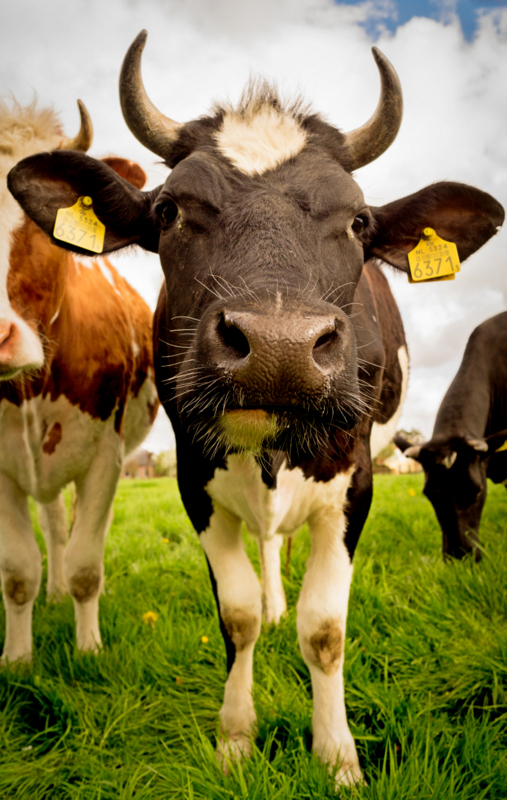 krowa, wolowina, mieso, wwf, energia od nowa, punkt krytyczny, zycie od nowa