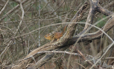 chipmunk on branch