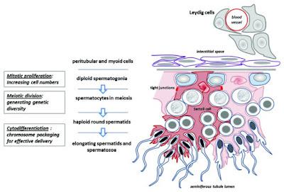 Proses Pembentukan Sperma (spermatogenesis), sel sertoli dan sel leydig