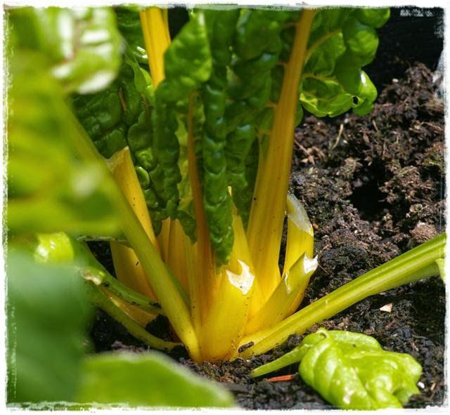 Gartenblog Topfgartenwelt Mangold: gelber Mangold im Gemüsegarten