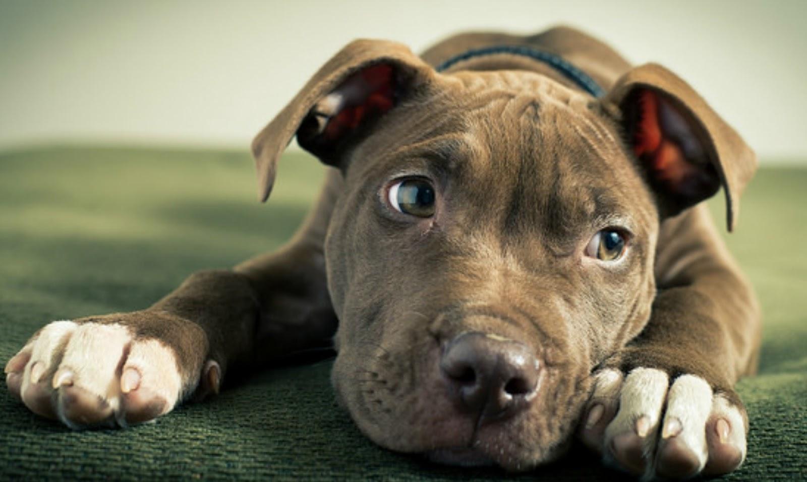 Los Mejores Nombres Para Perros Pitbull2019 Super 4 Patas